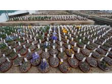 Botaniskas samling av lökväxter