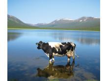 Ko i Matsdal, Västerbotten