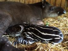 Tapir har fötts på Parken Zoo Eskilstuna