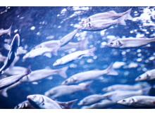 Fiskvandring i vattenkraft på nytt sätt