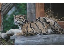 Trädelopardungar återförenas i Parken Zoo Eskilstuna