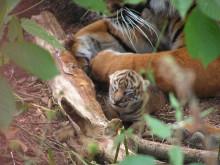 Sensationell tigerfödsel i Parken Zoo