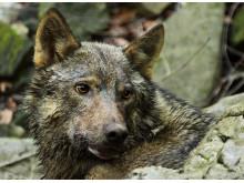 Varg / wolf