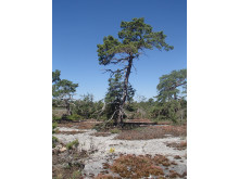 Ojnareskogen på norra Gotland