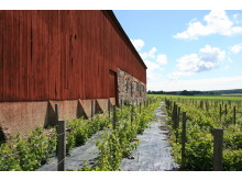 Vinstockar vid ladugård, sommar