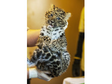 Olga 4,22 kilo amurleopardunge