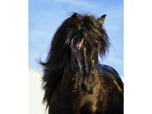 Månprinsen A.M. - nominerad till Årets Häst