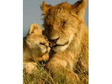 Løver fra Kenya