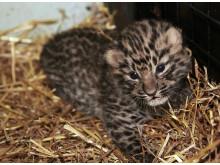 Amurleopardunge född Parken Zoo Eskilstuna