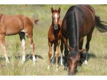Svenska hästuppfödare håller det svenska landskapet öppet.