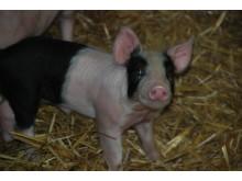 En av Hylanders grisar som slipper kastreras utan bedövning