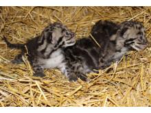 Sensationella Trädleopardungar födda i Parken Zoo Eskilstuna