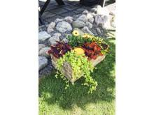 Palettblad, stjärnöga och penningblad. Plantering i mustiga färger