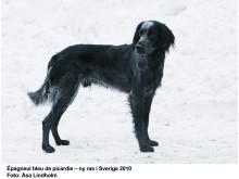 Épagneul bleu de picardie - ny hundras i Sverige 2011