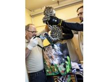 4,22 kilo väger amurleopardungen Olga