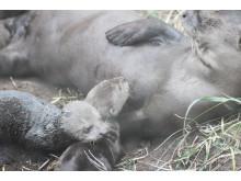 Jätteutterungar har fötts på Parken Zoo Eskilstuna  - Första gången någonsin i Sverige