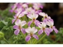 Pelargonum Cortusaefolium