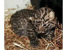 Amur leopard cub born in Parken Zoo Eskilstuna, Sweden