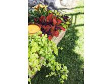 Palettblad, stjärnöga och penningblad. Kontastplantering  i mustiga toner