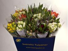 Svenskt Sigill-märkta tulpaner