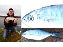 Sensationellt nytt sportfiskerekord: gaffelmakrill