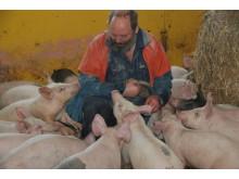 Christer Hylander med några av sina grisar