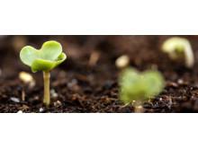 Oil-seed rape plants