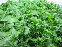 Odling av pak choi och mizuna i testbädd på SLU (Brassica rapa och Brassica rapa nipposinica)