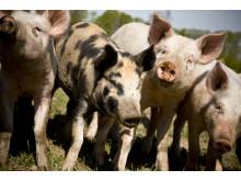 Glada grisar på Ängavallen