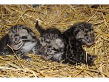 Fem ovanliga Trädleoparder födda i  Parken Zoo Eskilstuna