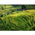 Nytt ris minskar växthusgaserna