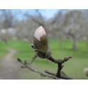 SSPPG, magnolia