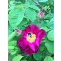 Humlesurr och rosenrabatt!