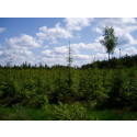 Young spruce stand