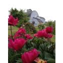 Rosens dag 28 juni