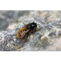 Nya bostäder hjälper vilda bin i fruktodlingar