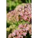 Hjälp bina - bjud på en mångfald av blommande växter
