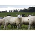 Samlad bransch vill lyfta svenskt lamm