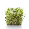 Alfalfa (Medicago sativa)