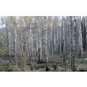 Grandominerad blandskog omvandlas till lövskog