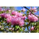 Nu blommar rhododendronen på Sofiero