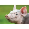 Obedövad griskastrering förbjuds i Sverige