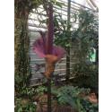 Illaluktande nyttoväxt blommar i Botaniskas växthus