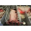 Pressinbjudan: Fixering av grisar – djuromsorg eller vinstmaximering?