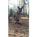 Känguruungar födda i Furuvik!