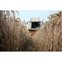 Høsten er over os: Kender du kornets rejse?