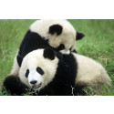 Glädjande ökning av Kinas vilda pandor