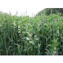 Samodling – ett sätt att öka skördarna i ekologiskt jordbruk