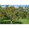 Riksförbundet Svensk Trädgård lanserar Äpplets Dag  – med fokus på svenska äpplen och äppelträd