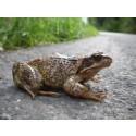 Djurens Ö står upp för hotade groddjur